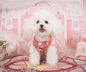 White Teddy dog Stock Photo 04