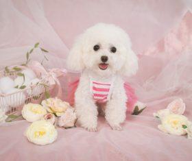 White Teddy dog Stock Photo 05
