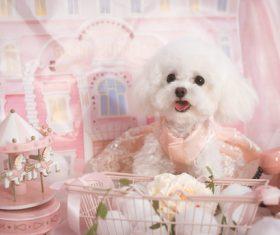 White Teddy dog Stock Photo 06