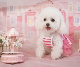 White Teddy dog Stock Photo 07