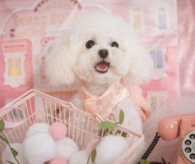 White Teddy dog Stock Photo 08