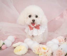 White Teddy dog Stock Photo 09