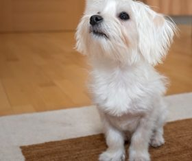 White cute puppy Stock Photo 02
