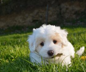 White cute puppy Stock Photo 05