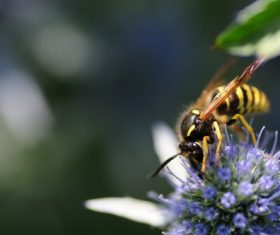 bee collecting nectar Stock Photo 09