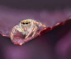 jumping spider Stock Photo 01