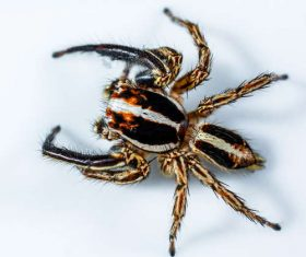 jumping spider Stock Photo 02
