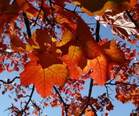 Beautiful maple leaf Stock Photo 02