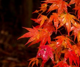 Beautiful maple leaf Stock Photo 03