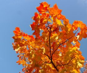 Beautiful maple leaf Stock Photo 04