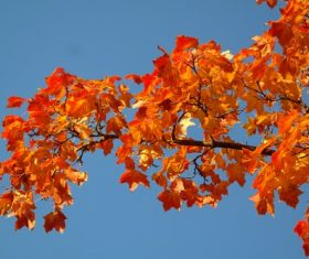 Beautiful maple leaf Stock Photo 05