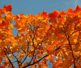 Beautiful maple leaf Stock Photo 06