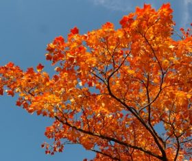 Beautiful maple leaf Stock Photo 07