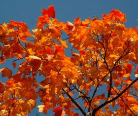 Beautiful maple leaf Stock Photo 08