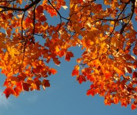 Beautiful maple leaf Stock Photo 09