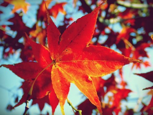 Beautiful maple leaf Stock Photo 11