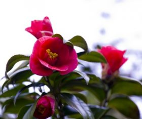 Blooming red camellia Stock Photo