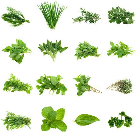 Bundles herbs creative vector