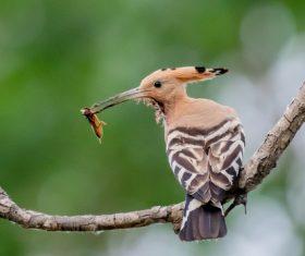 Eurasian hoopoe prey on Stock Photo