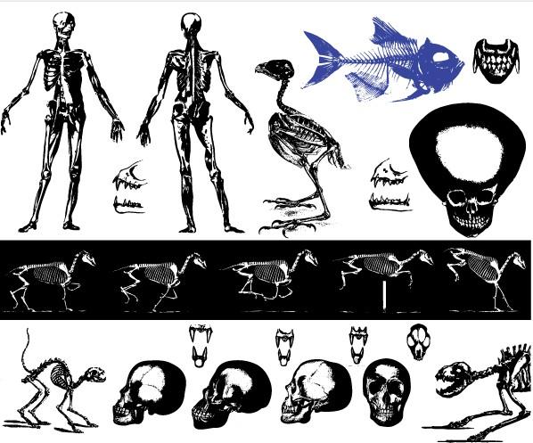 Free Skeleton Images vector set