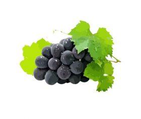 Hand drawn purple grape vector