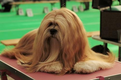 Purebred brown long hair Lhasa Apso Stock Photo