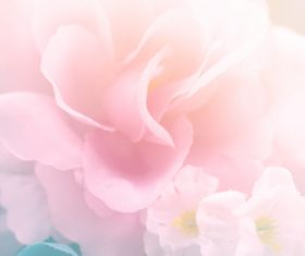 Rose soft pink blur background Stock Photo 06