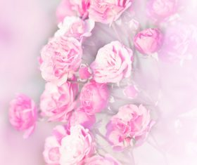 Rose soft pink blur background Stock Photo 09