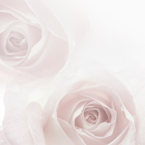 Rose soft pink blur background Stock Photo 11