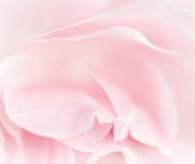 Rose soft pink blur background Stock Photo 12