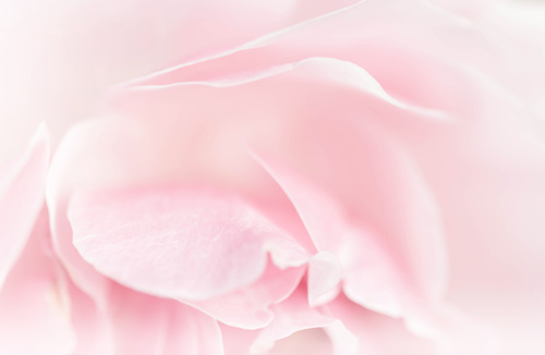 Rose soft pink blur background Stock Photo 12