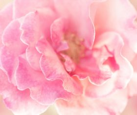 Rose soft pink blur background Stock Photo 14