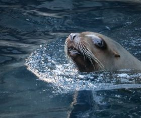 Sea lion in the water Stock Photo 06