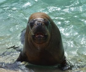 Sea lion in the water Stock Photo 07