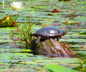 Small turtle in the lotus pond Stock Photo