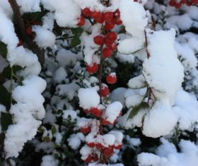 The accumulated snow on red berries Stock Photo