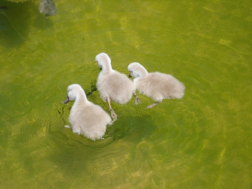 Three ducklings in the river Stock Photo