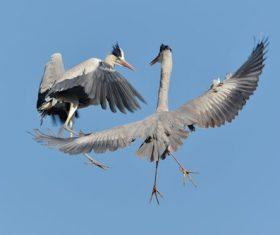 Two flying herons Stock Photo