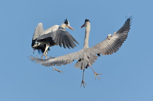 Two flying herons Stock Photo
