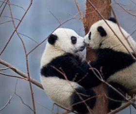 Two little pandas climbing to the tree Stock Photo