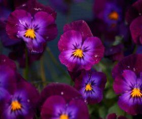 Violet flowers Stock Photo