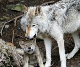 Wild wolf feeding young wolf Stock Photo