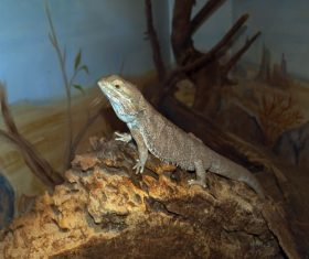 Agile lizard Stock Photo 01