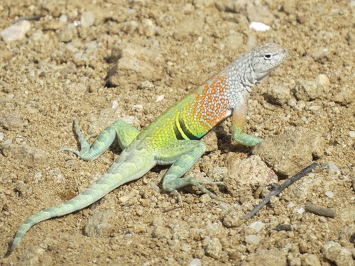 Agile lizard Stock Photo 03