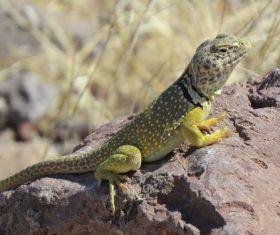 Agile lizard Stock Photo 04