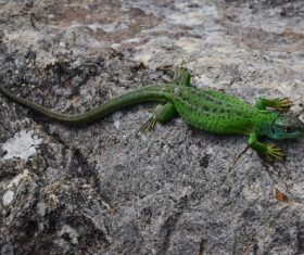 Agile lizard Stock Photo 05