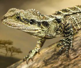 Agile lizard Stock Photo 06