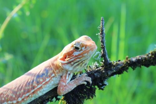 Agile lizard Stock Photo 07