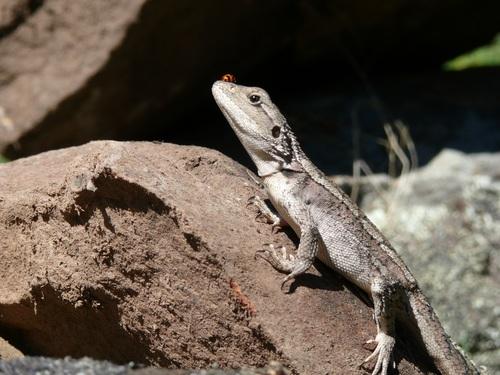 Agile lizard Stock Photo 11