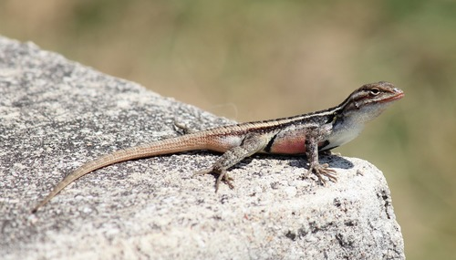 Agile lizard Stock Photo 12